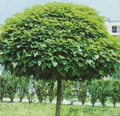 ppinires chouvenc famille arbres d 39 ornement pepiniere pepinieriste botanique arbre arbuste. Black Bedroom Furniture Sets. Home Design Ideas