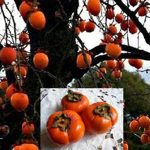 Ppinires chouvenc famille arbres fruitiers les chataigners cognassiers nashi kaki - Arbre a kaki nom ...